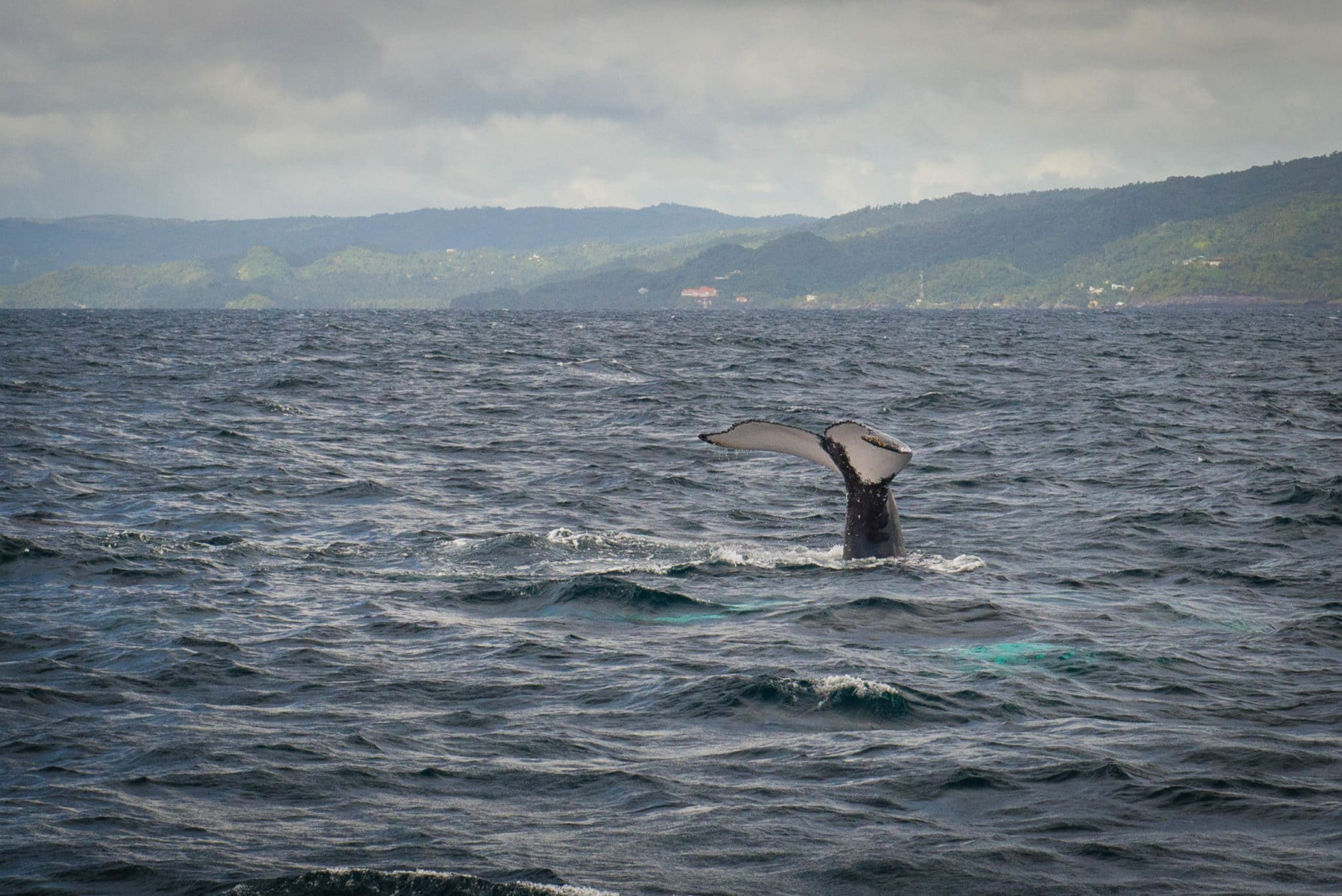 Whale Watching in Samana Bay