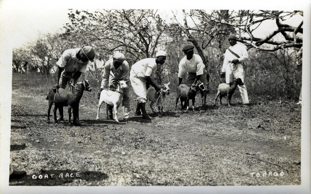 Racing goats for Easter back in the day in Tobago