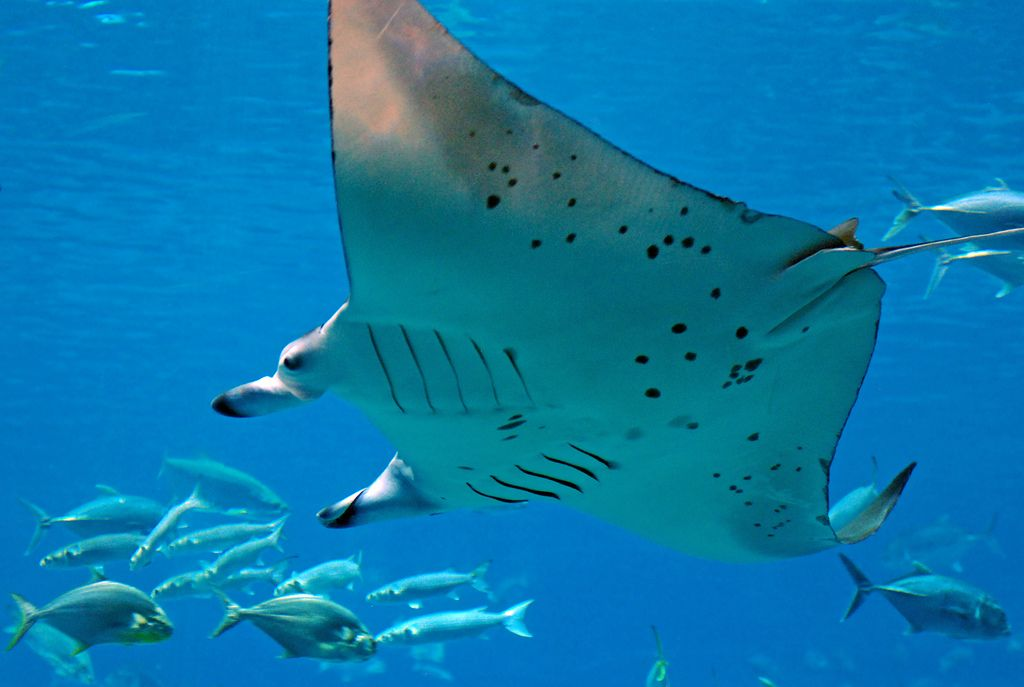 Saturday Video: Marveling at Curacao's Marvelous Manta Rays