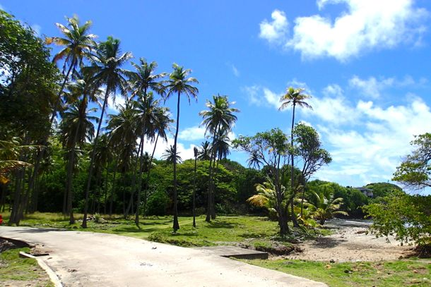 Towering Palms on the road to Bequia Head | SBPR