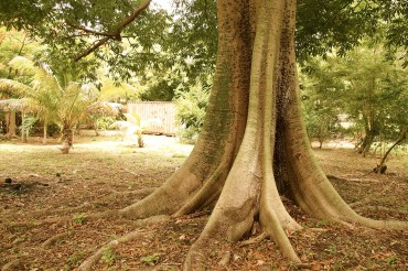 Silk Cotton Tree in Bequia | SBPR