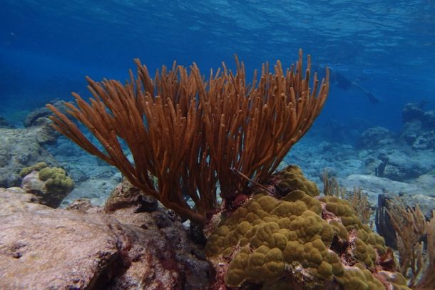Coral making a comeback at Buck Island | SBPR