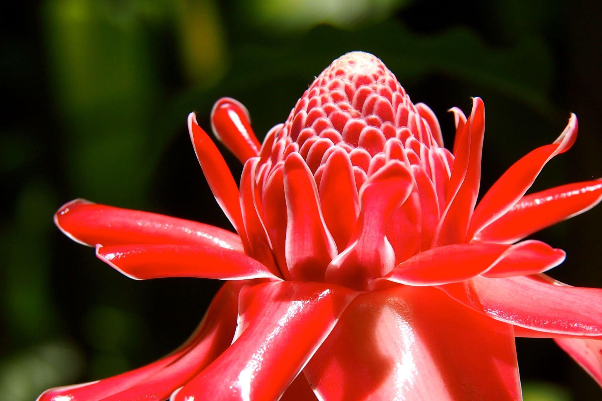 Martinique's Magnificent Porcelain Rose