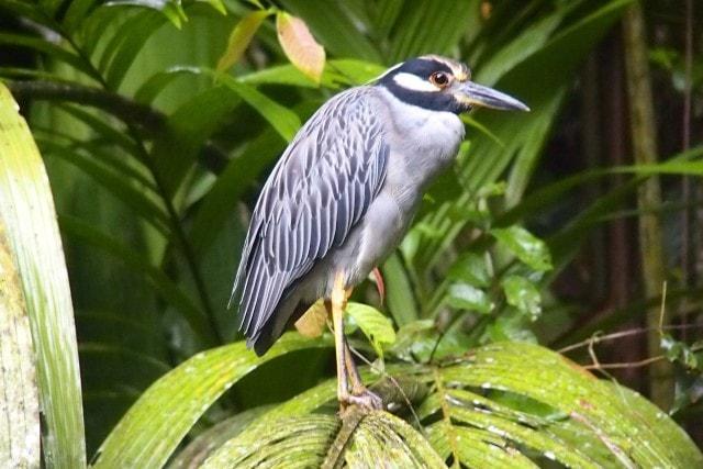 Agami Heron, Tortuguero National Park, Costa Rica   SBPR