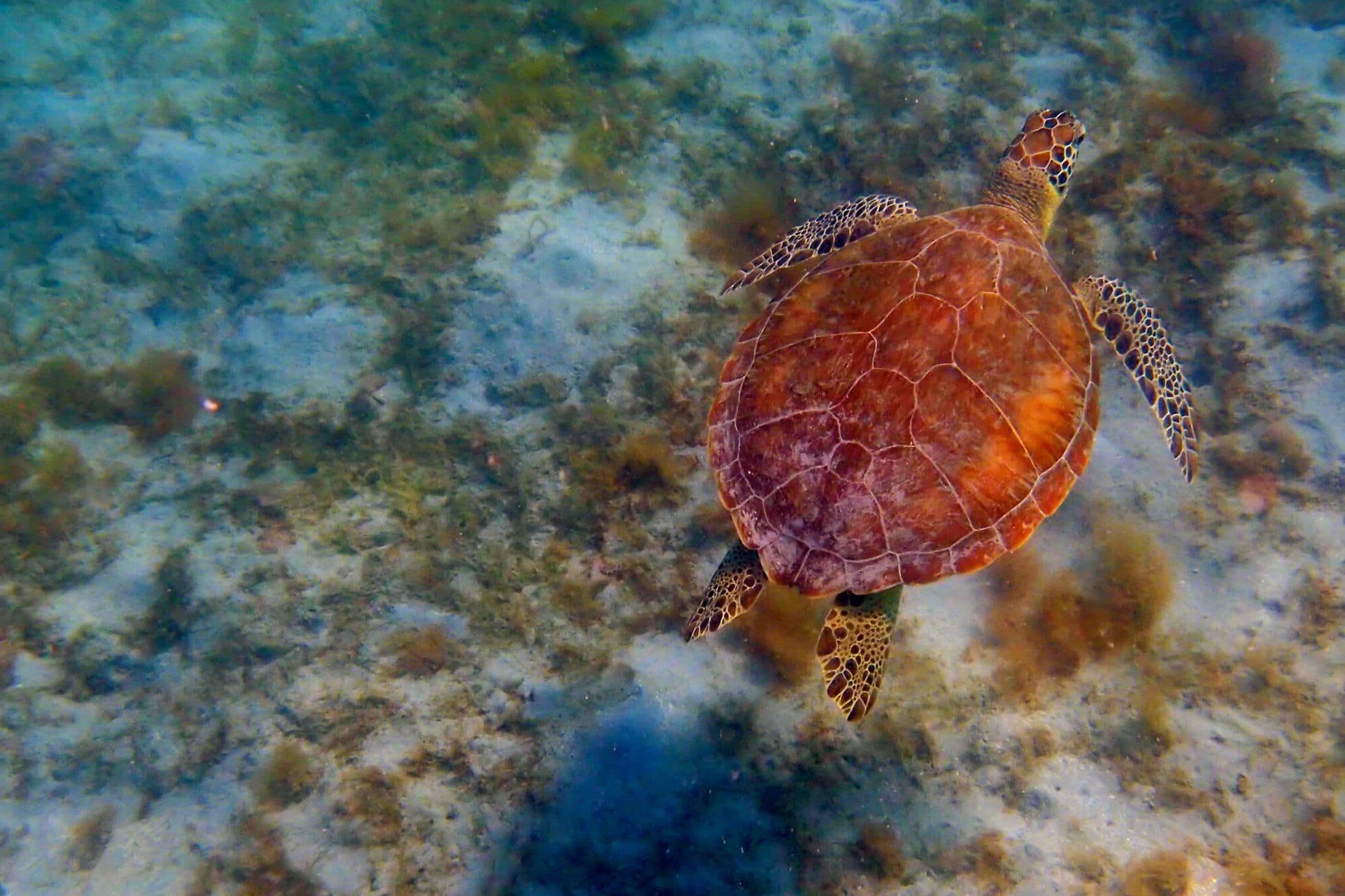 My Morning Swim With The Sea Turtles of Magens Bay, St. Thomas