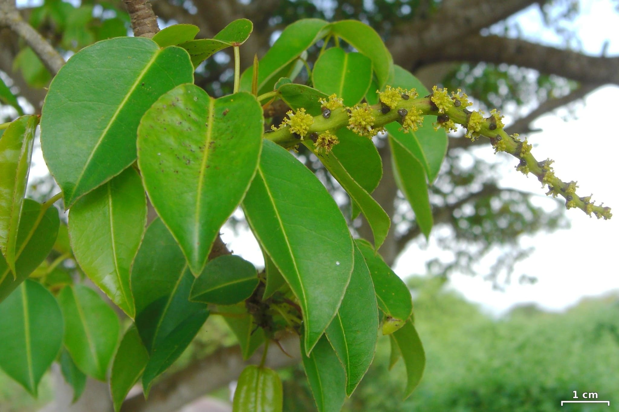 Manchineel: One Caribbean Travel Danger You're Likely to Face