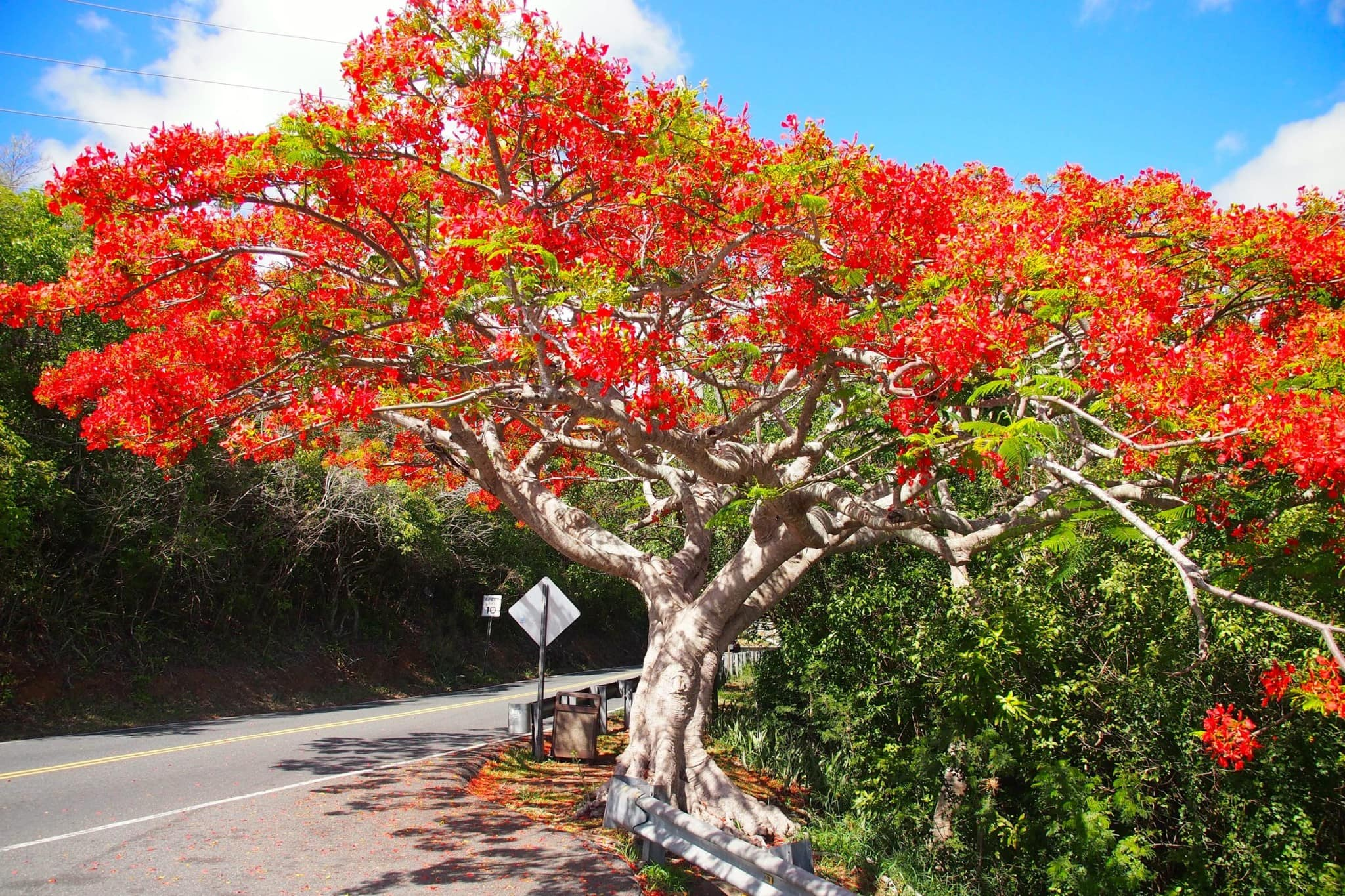 The Flamboyant Tree: So Much More Than a Plain Old Tree