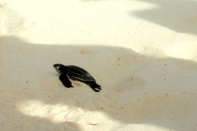 Life Begins for This Baby Leatherback | SBPR