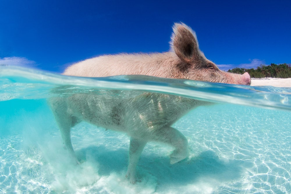 Spoiled to Death – The Sad Story of The Swimming Pigs of The Bahamas
