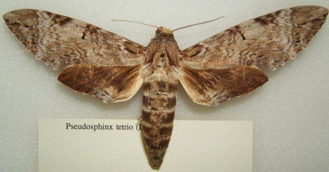 Pseudosphinx tetrio