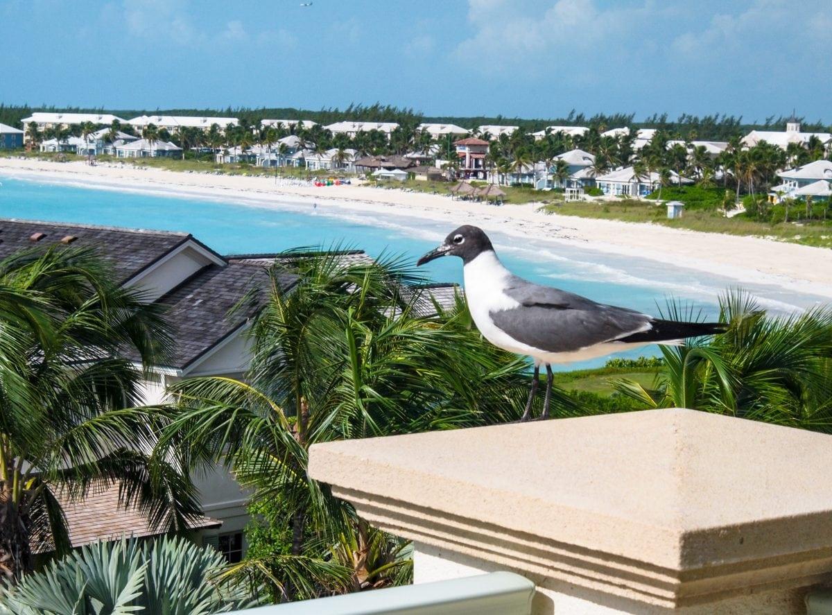 Birdie Breakfast Companion at Grand Isle Resort & Spa, Great Exuma   SBPR