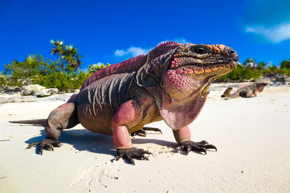Double Sexy Reasons to Love Iguana Stew