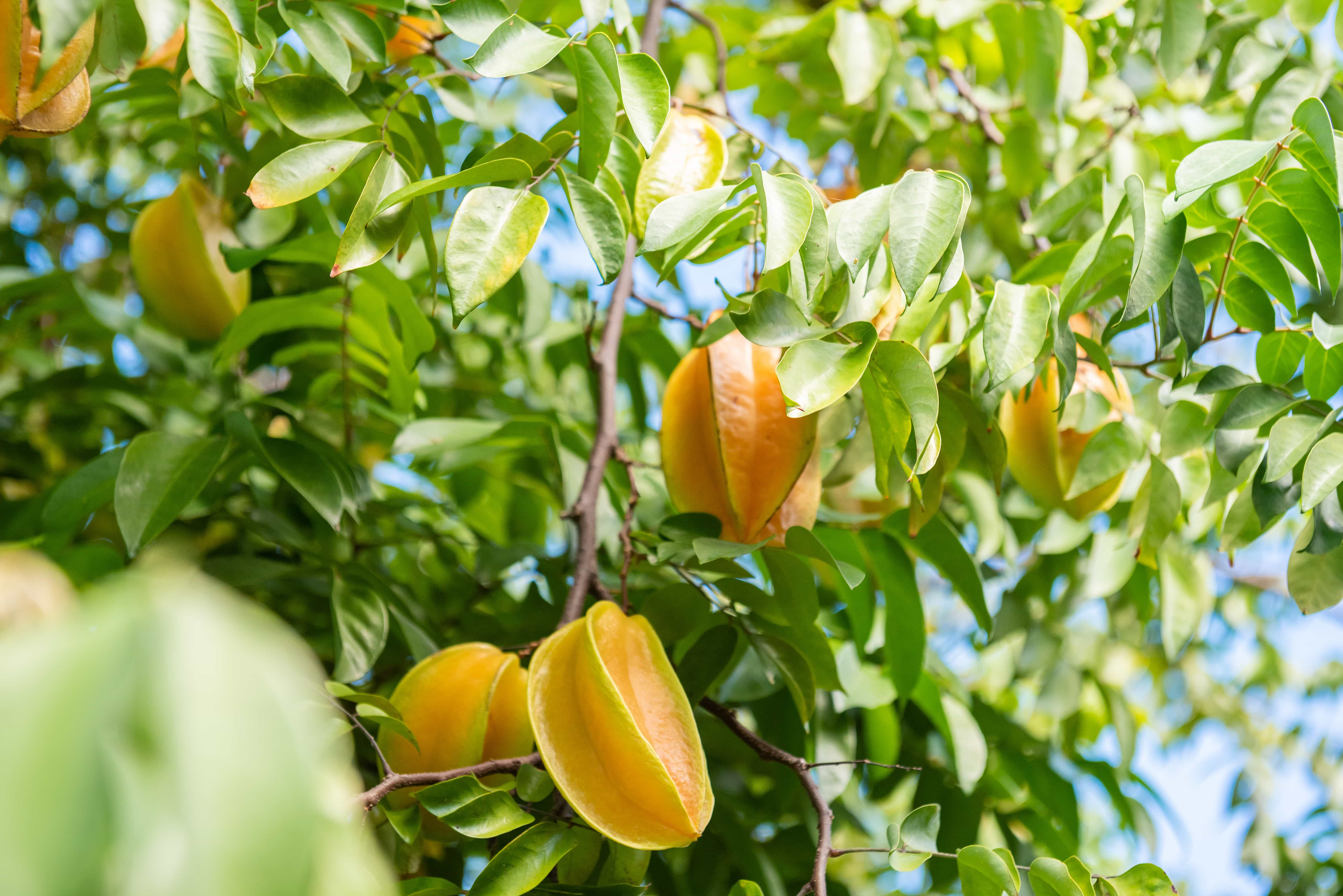 Tucked between all the cottages are fruit trees. Tamarind, carambola, coconut, and more can be found here. And they're perfect for picking!
