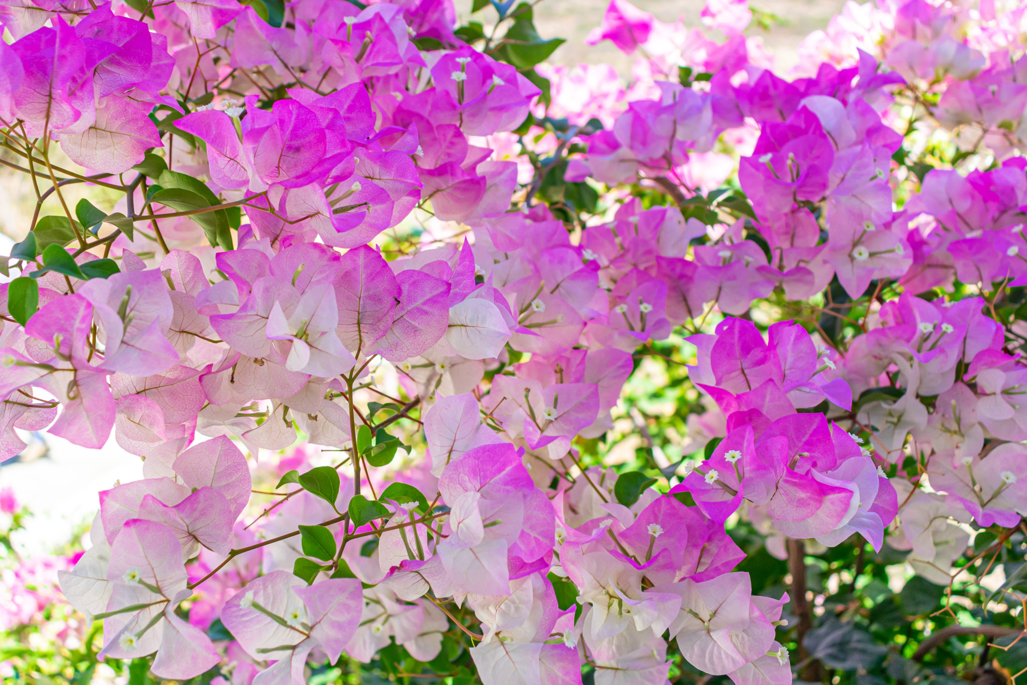 Bougainvillea Flowers – Beautiful to Behold, But Beware